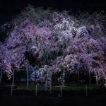 紫燕天翔喜迎春!重機旅遊賞櫻攻略大公開【關東編】